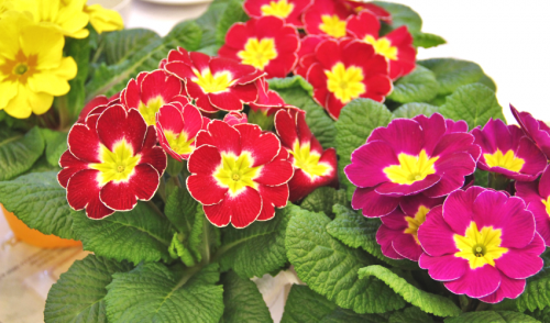 Caring for Your Potted Primrose
