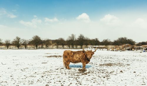 Winter Cow Care