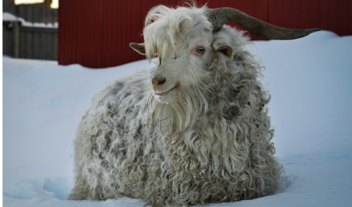 Preparing and Caring for Goats in Winter