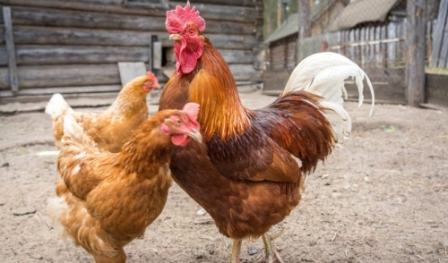 Tips on Rooster Care