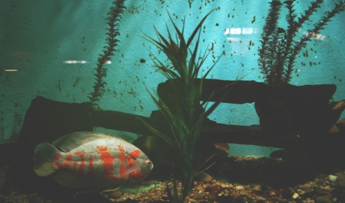 Fish Breeds That Live Well Together
