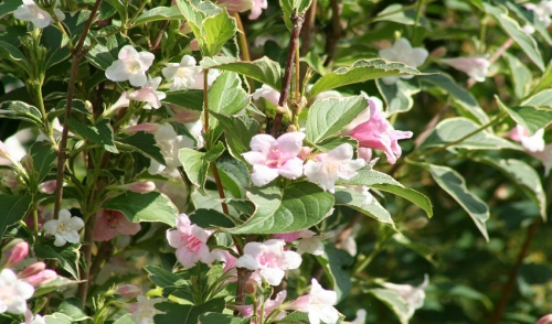 Rules of Thumb for Pruning Flowering Shrubs