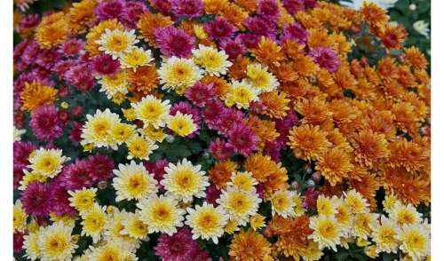 Caring for Garden Mums