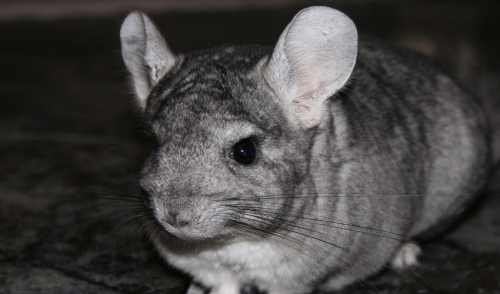 grooming and fur health of chinchillas petkraze serving pa de ny
