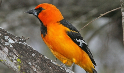 5 Tips to Attract Orioles