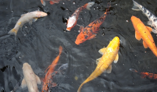 Create Your Own Koi Pond