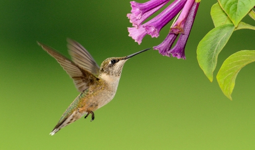 All About Hummingbirds