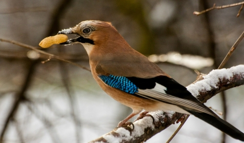 Attract Birds With Peanuts