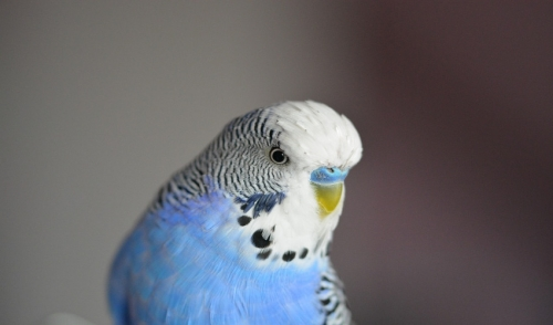 Everything You Need to Know About Your New Parakeet