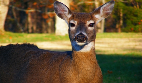 Natural Ways to Deter Deer