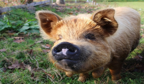 Tips for Raising Pigs in Your Backyard