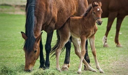 Minimizing Stress When Weaning Foals
