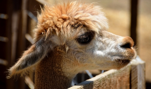 The Low-Down on Lovin' Llamas