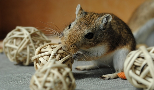 Gerbil Social Behaviors: Introducing a New Cage