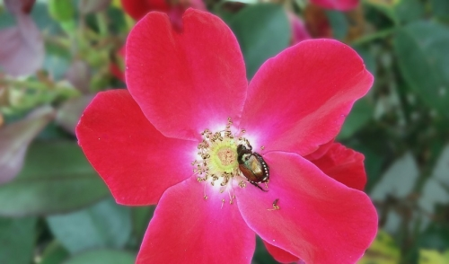 Ridding Your Garden Of Japanese Beetles Without Chemicals