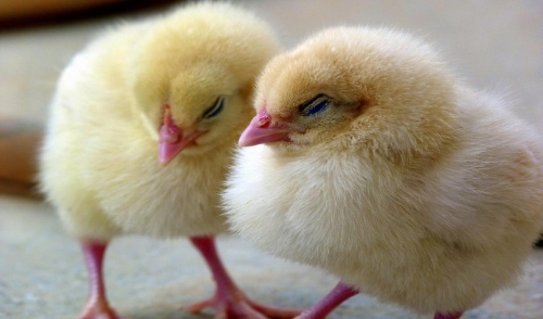 Common Chick Diseases to Look Out For | Lakeside Feed