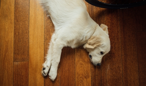 Dog Tricks: Three steps for teaching your dog to play dead