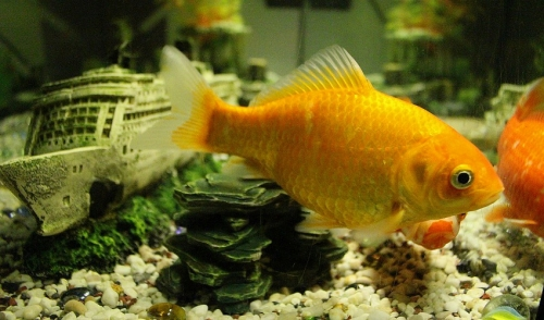 Maintaining Your Gold Fish Bowl