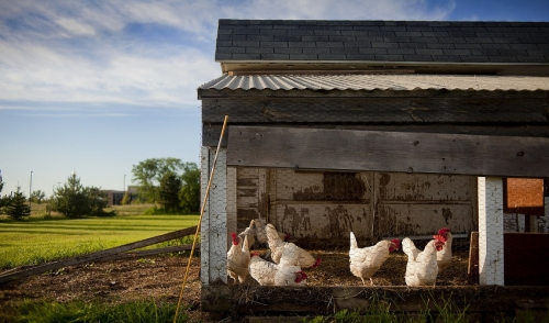 The Importance of a Chicken Coop