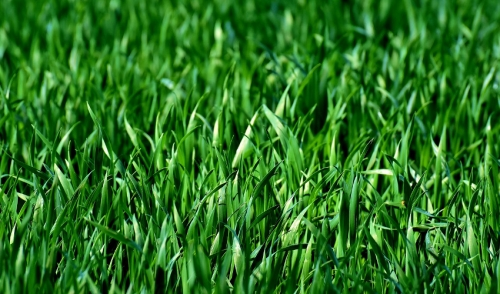 Caring for Your St. Augustine Lawn