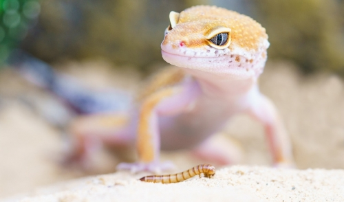 5 Great Beginner Pet Lizards