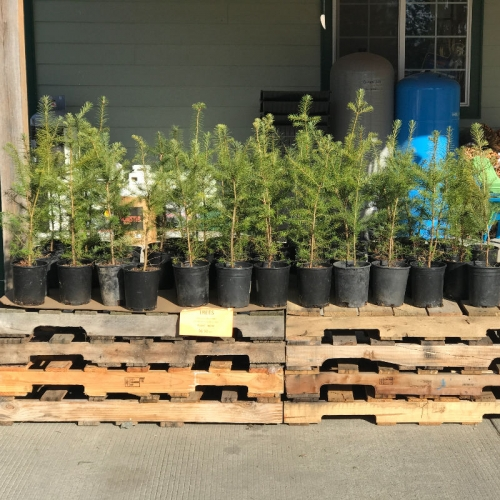 Douglas Fir Hybrid Trees