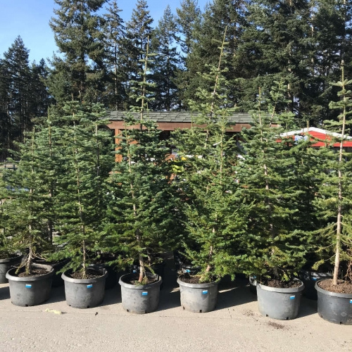 Alpine Fir Christmas Trees