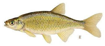 Golden Shiner Bait Fish