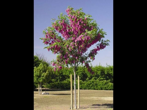 Purple Robe Locust Tree