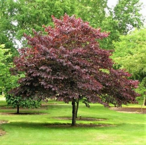 Redbud Forest Pansy Tree