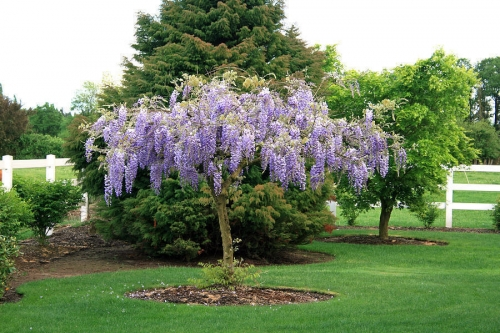 Purple Wisteria Tree