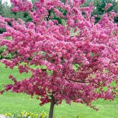 Indian Magic Pink Crabapple Tree