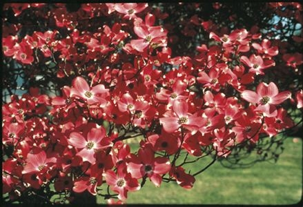 Cherokee Chief Red Flowering Dogwood Tree