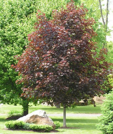 Crimson King Maple Tree