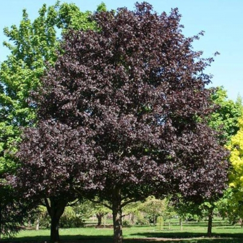 Royal Red Maple Tree