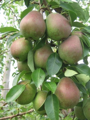 Flemish Beauty Dwarf Pear Fruit Tree