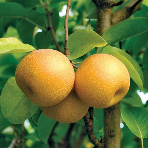 Hosui Asian Dwarf Pear Fruit Tree