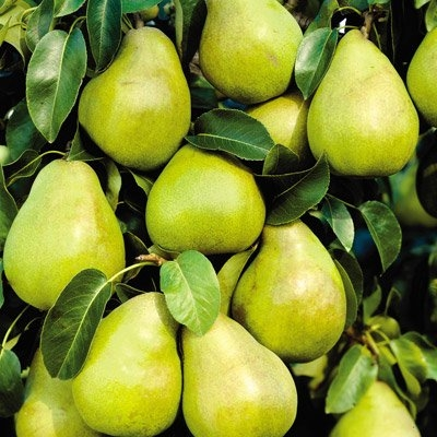 Kieffer Dwarf Pear Fruit Tree