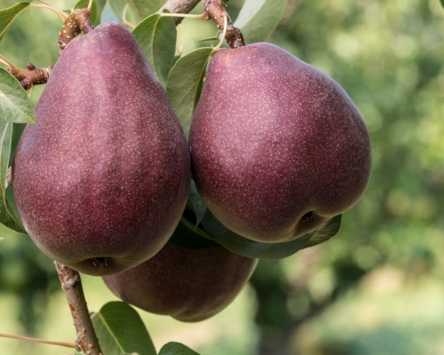 Red Bartlett Dwarf Pear Fruit Tree