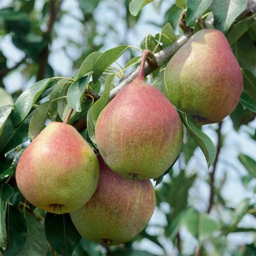 Seckel Pear Dwarf Fruit Tree