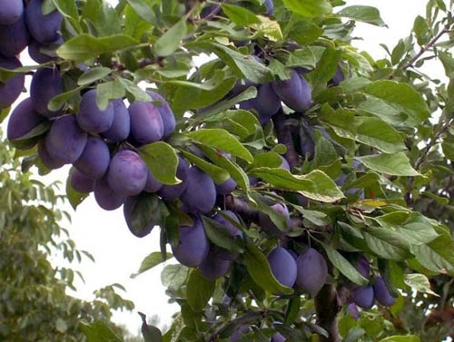 Brooks Dwarf Plum Fruit Tree