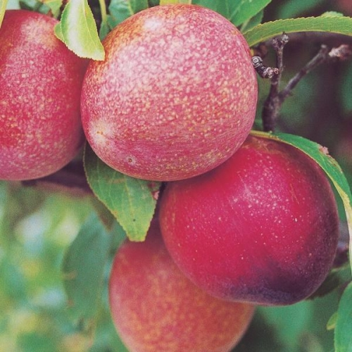 Elephant Heart Dwarf Plum Fruit Tree