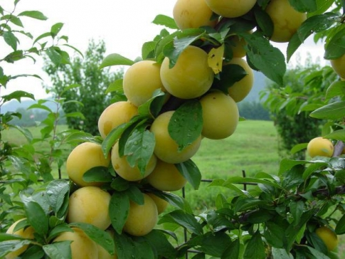 Shiro Dwarf Plum Fruit Tree