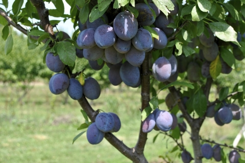 Stanley Plum Dwarf Fruit Tree