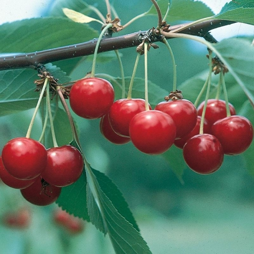 North Star Dwarf Cherry Fruit Tree