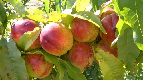 Fantasia Dwarf Nectarine Fruit Tree