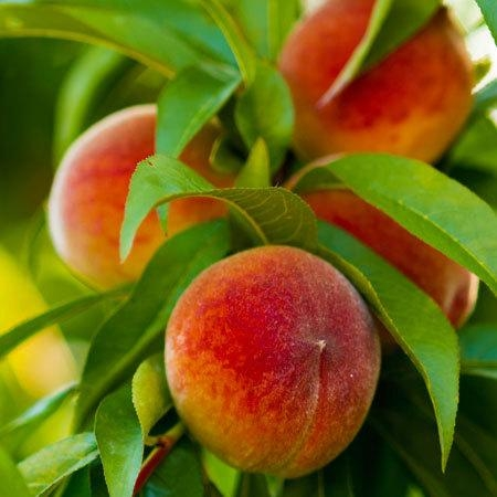 Elberta Dwarf Peach Fruit Tree