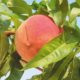 Golden Jubilee Dwarf Peach Fruit Tree