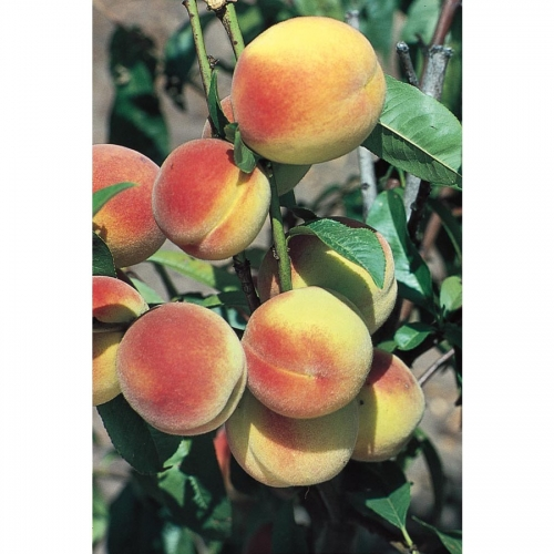 Hale Haven Dwarf Peach Fruit Tree