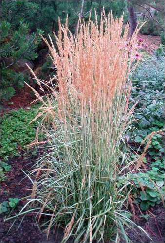 Avalanche Variegated Feather Reed Ornamental Grass
